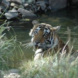 Tigre Ranthambore Inde