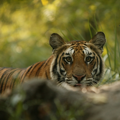 Tigre de Ranthambore